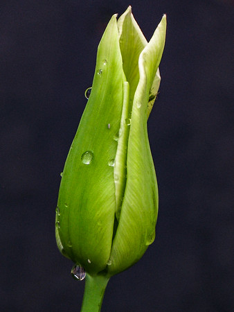 Tulip Bud with Water Drops