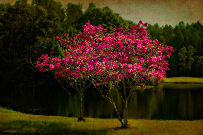Crape Myrtles at Cheval