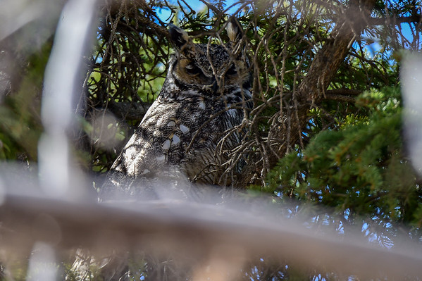 4-1-16 Great Horned Owl -ngpk
