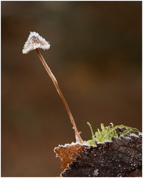 Mycena Species on a frosty morning