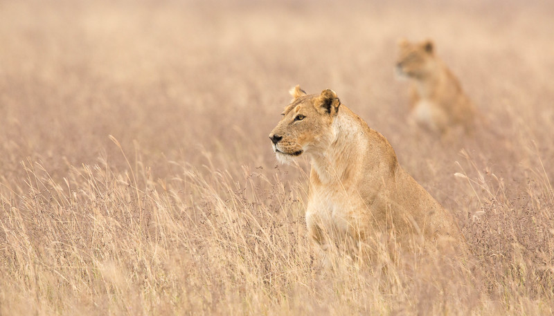 Two lionesses on the prowl in the savannah, Serengeti National Park