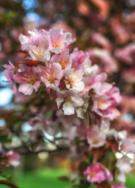 Crabapple Blossoms