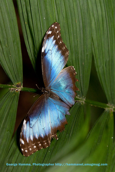 The blue morpho seemed to be selective of the plants where it rested.