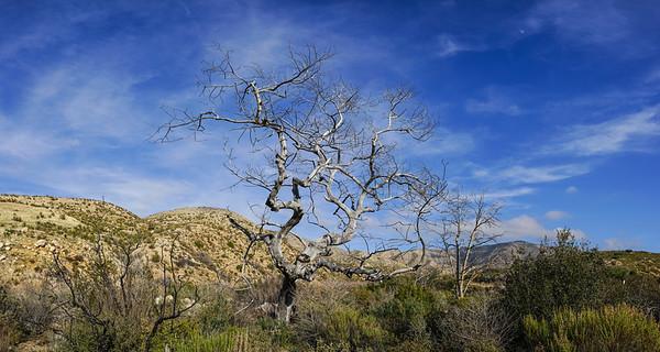 Mojave Desert Trees