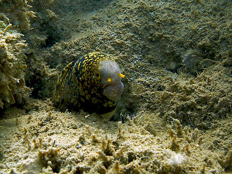 Mellow Snowflake Moray eel