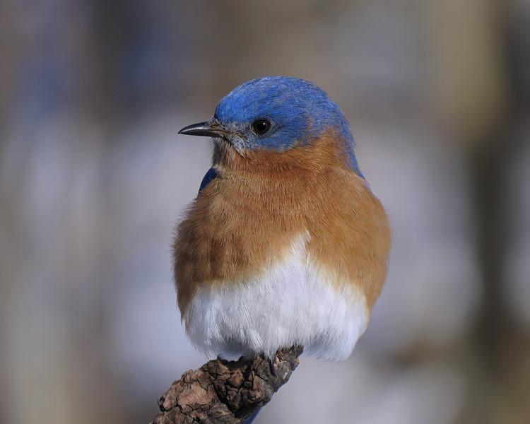 sx50_bluebird_boas_068.jpg