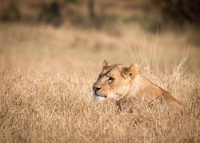 lion_MG_6876