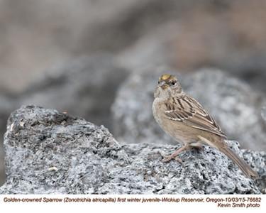 Golden-crowned Sparrow J76682.jpg