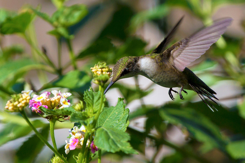 Ruby-throated humming bird, 2