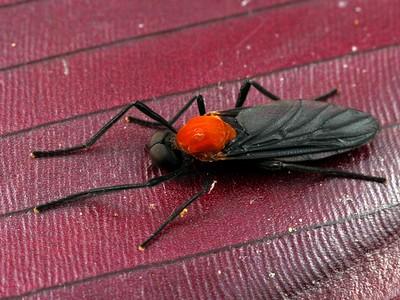Bibionidae