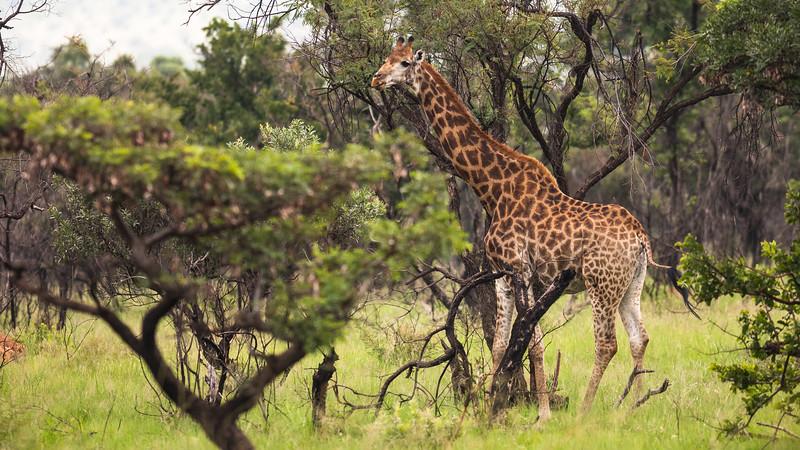 Giraf, Mabula Game Reserve, Limpopo, Sydafrika