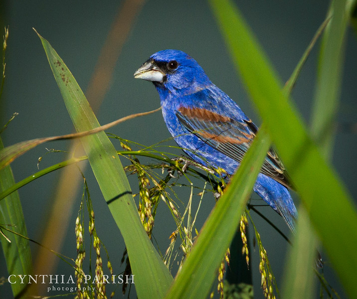 BlueGrosbeak2_HighIslandRookeryPond_CPP.jpg