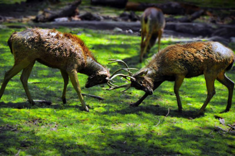 Deer Fighting.jpg