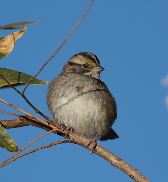 White-throated Sparrow Coso Junction 2018 10 17-7.CR2