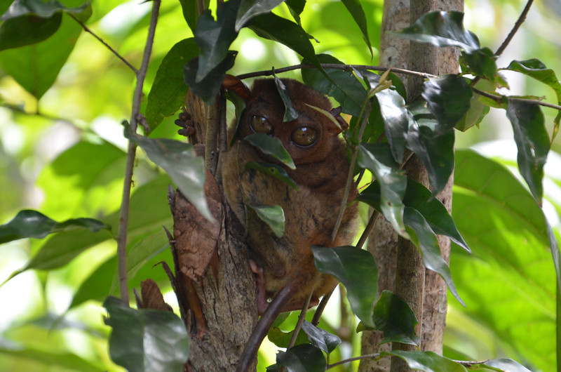 DSC_7134-tarsier-through-the-leaves.JPG