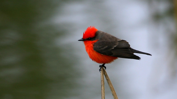 Fresno County Bird Images Library