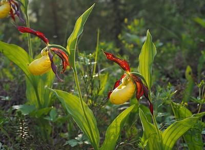 Orchideeën van Scandinavië
