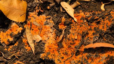 Pyrophilous Fungi
