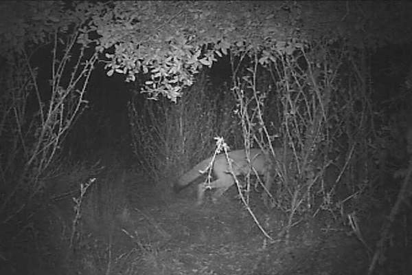 Coyote2.AVI