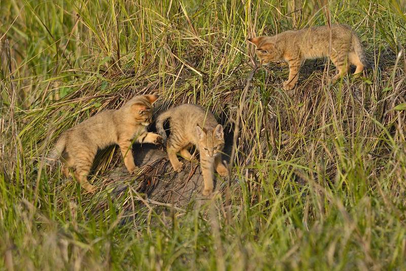 Jungle-Cat-Kittens-03.jpg