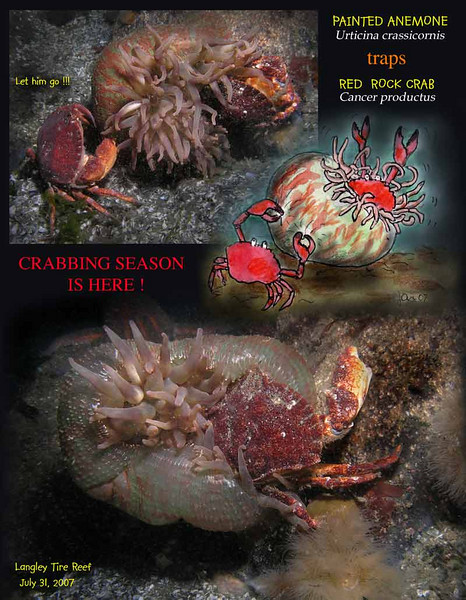7.31.07 Langley crab anemS.jpg