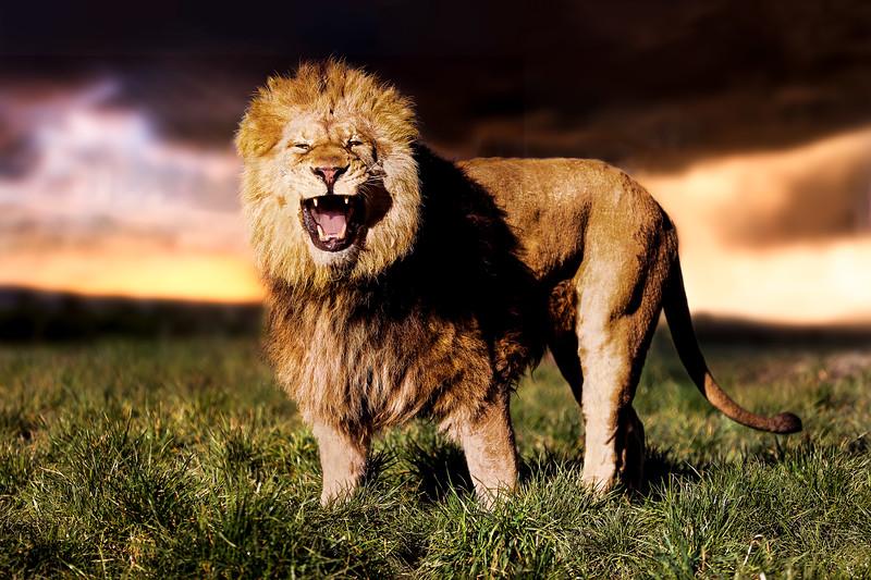 Lion Roar Large.jpg