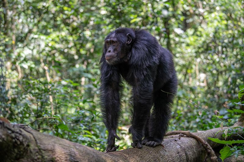 Uganda_T_Chimps-474.jpg