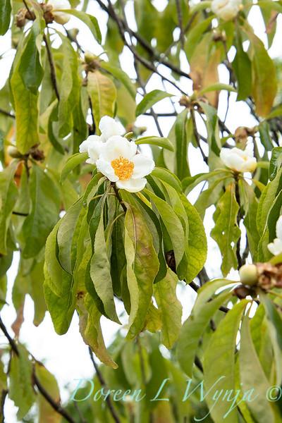 Franklinia alatamaha fall blooms_2679.jpg