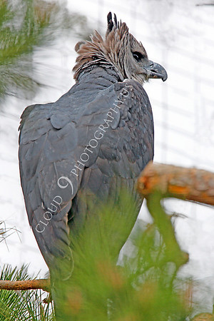 Harpy Eagle Wildlife Photography