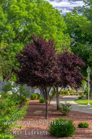 Purple Pony® Flowering Plum (Prunus cerasifera 'Purple Pony')
