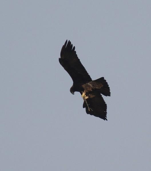 Golden Eagle Teddy Roosevelt National Park ND IMG_7087.jpg
