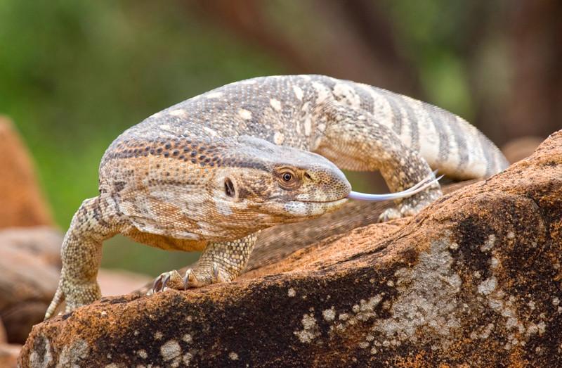 Savanna Monitor Lizard, Kenya