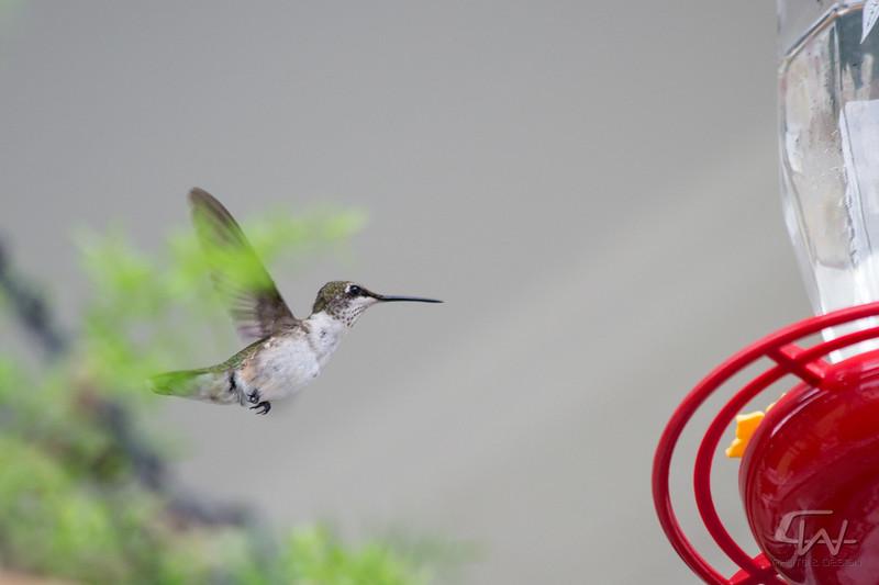 Hummingbird-1931.jpg