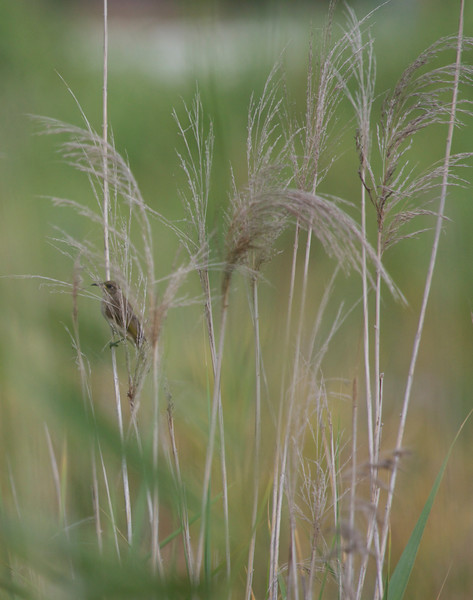 Grass wren, Sippy Downs, Australia