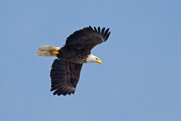 Eagles In Iowa