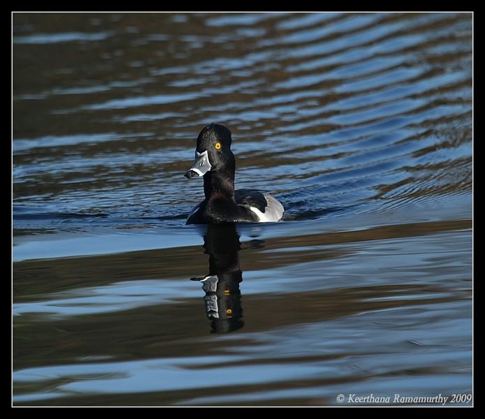 Ring-necked Duck Drake, Santee Lakes, San Diego County, California, January 2009
