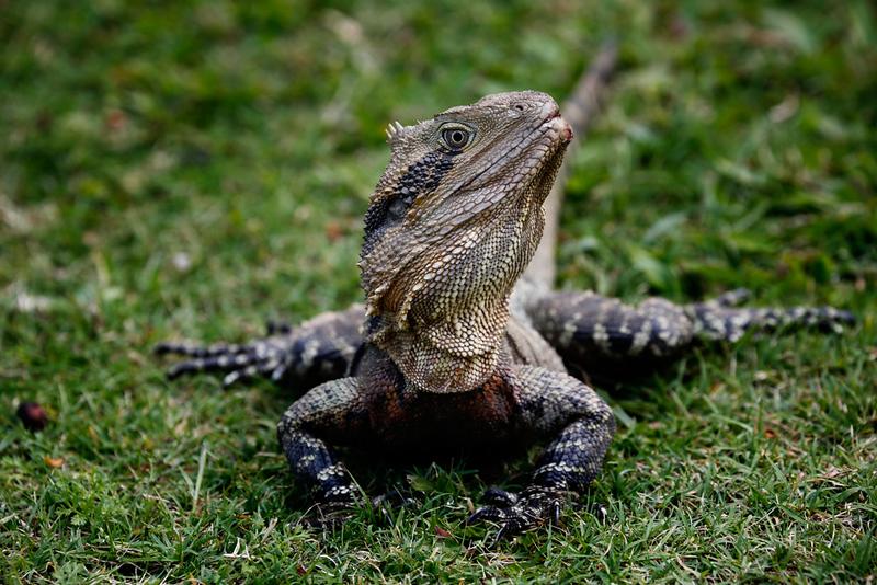 Eastern Water Dragon.jpg