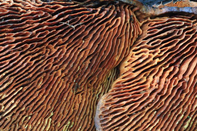 Mushroom(closeup)- Grams Regional Park