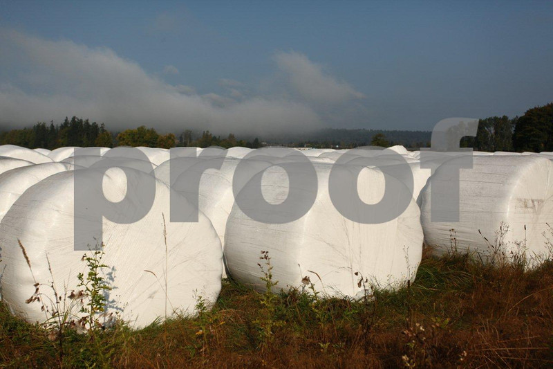 Round bales of silage wrapped in white plastic.