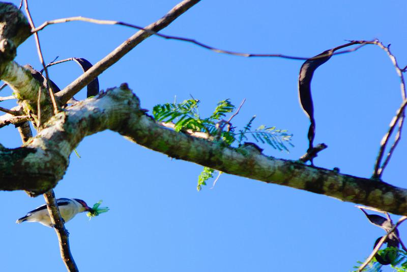 Black-tailed Tityra - Yucatan, Mexico