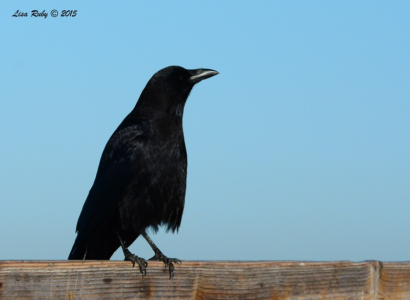 DSC_3090_Crow.jpg