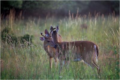 Classic Shenandoah Deer