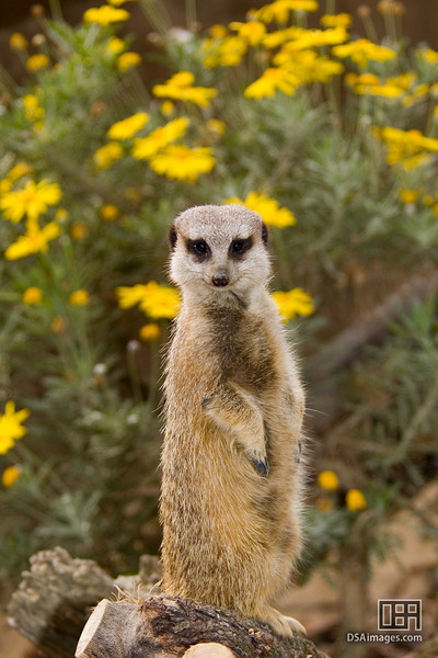 A meerkat from the daisy filled savannah