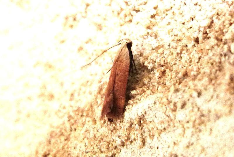H02236  P112AnacampsisFullonella540 June 7, 2012  7:34 a.m.  P1120540 This reddish little moth is Anacampsis fullonella.  At LBJ WC.  Gelechiid.
