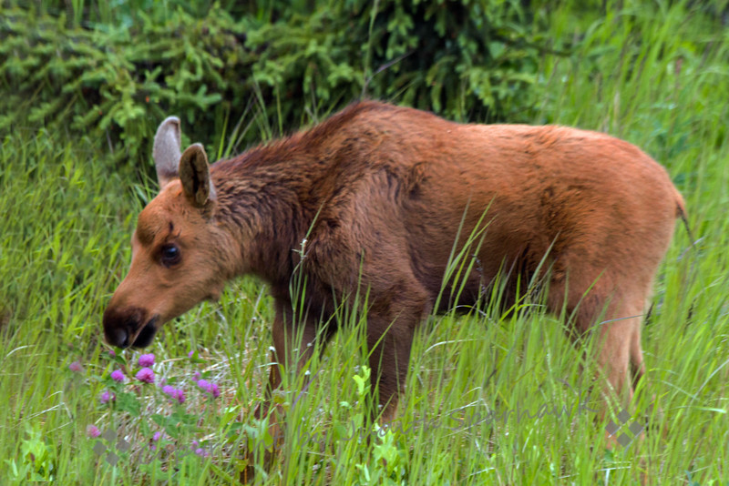 Baby Moose in the Clover