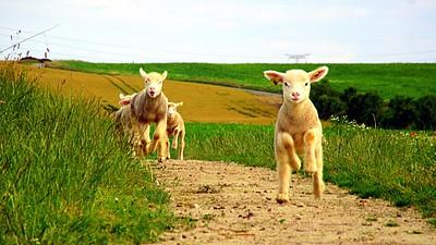 Les moutons sont sensibles