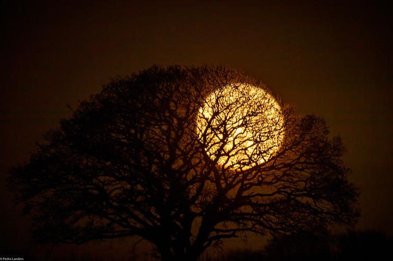 Oak Tree and Moon