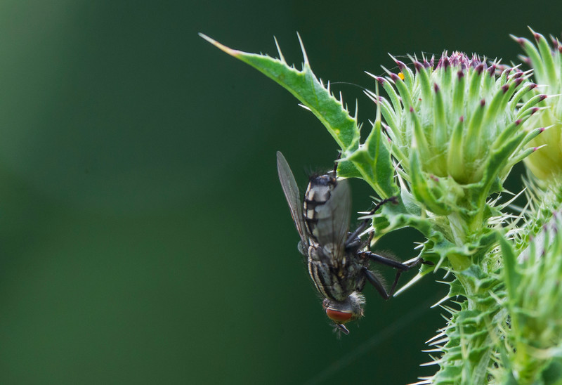 fly-thistle-osinga-farm3.jpg