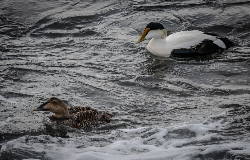 Common Eider pair