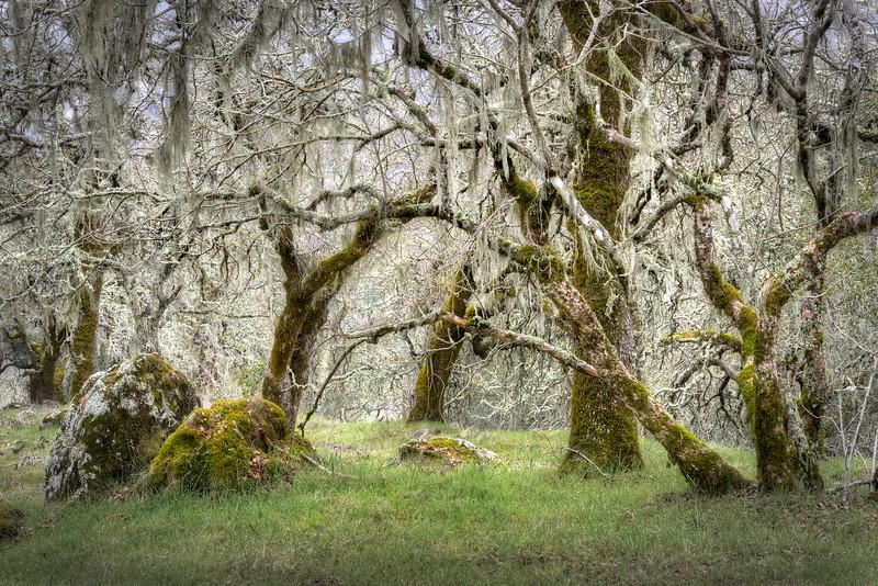 Hanging Moss, Sonoma Valley, California